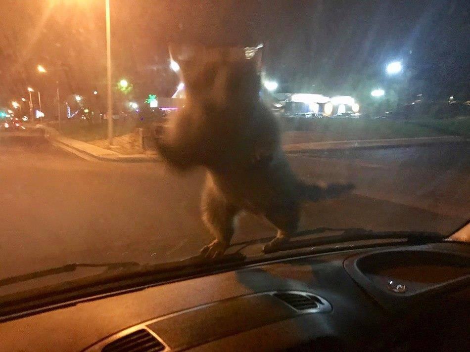 Ein Waschbär auf dem Auto