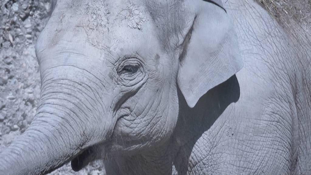 In Erwartung: Bald ein neues Elefanten-Baby im Zoo Zürich