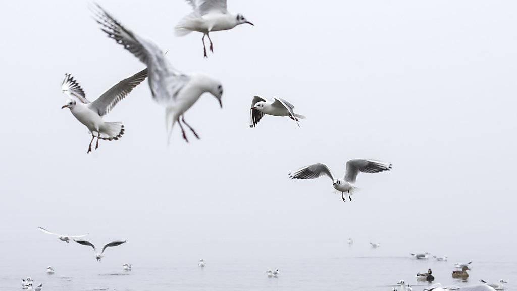 Am Bielersee trugen unter anderem zwei Möwen das Vogelgrippevirus in sich. (Archivbild)