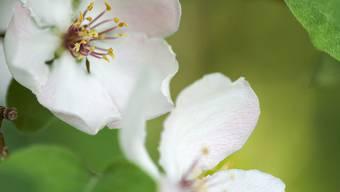 Quitten Blüten