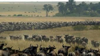 Bald ein Bild der Vergangenheit? Gnus auf Wanderschaft durch das Masai Mara Reservat in Kenia. (Archivbild)