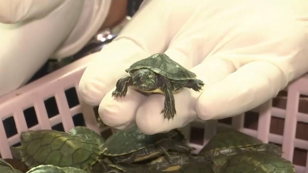 Über 5000 Schildkröten beschlagnahmt