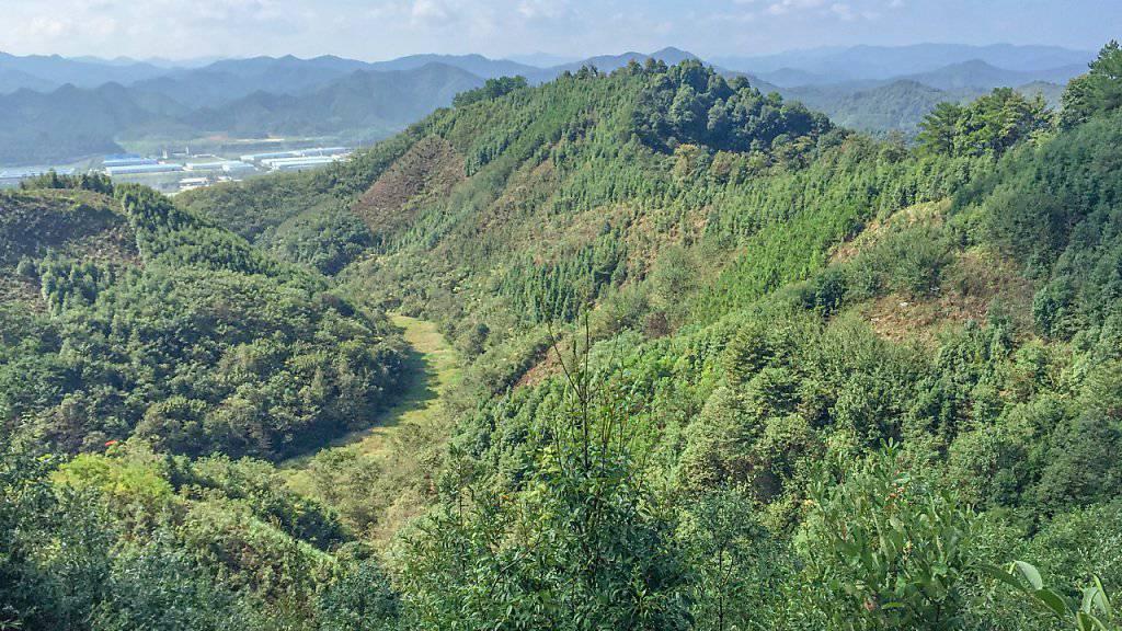 Monokulturen speichern viel weniger Kohlenstoff als artenreiche Wälder: Im Bild der Versuchswald in der Nähe von Shanghai.