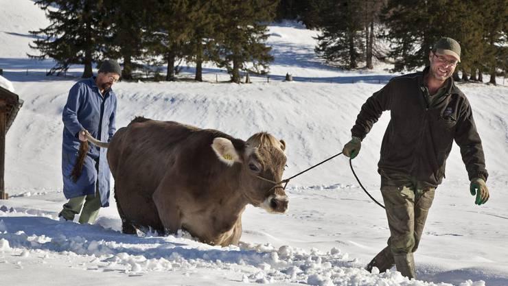 Harte Arbeit: Bergbauern bei Furggels SG führen eine Kuh durch den Schnee. (Symbolbild)