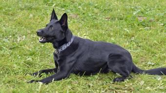 Der Polizeihund Dodge vom Eichertland hat die Einsatzkräfte auf die Fährte eines mutmasslichen Räubers geführt. Dieser wurde festgenommen, eine Stunde nach seinem mutmasslichen Überfall und fünf Kilometer vom Tatort entfernt.