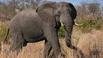 Ein in Wildnis lebender Elefant hat im Südwesten Nepals in der Nähe eines Nationalparks zwei Frauen zu Tode getrampelt. Vier weitere Menschen wurden nach Polizeiangaben verletzt. (Symbolbild)