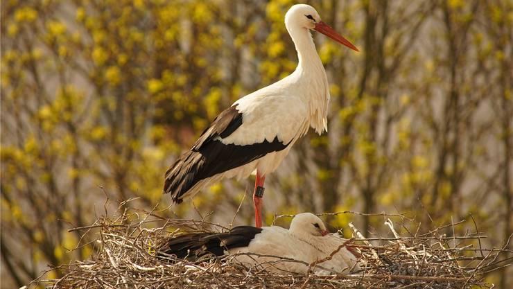 Das Storchenpaar beim Schulhaus in Kaiseraugst letzte Woche, während das Weibchen die Jungen «hudert».