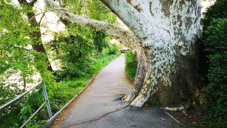 Der Philosophenweg ist wegen des grössten Baums der Stadt Aarau nicht nur enger, sondern wegen seines Wurzeldrucks auch unangenehm wellig.