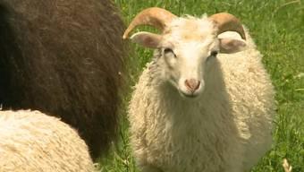 Asylbewerber klauen in Stein ein Schaf - und schlachten es