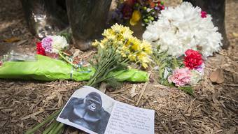 Blumen für Harambe: Der Silberrücken war erschossen worden, nachdem ein Bub in sein Gehege gefallen war. Die Eltern des Kinds werden aber nicht bestraft. (Archiv)