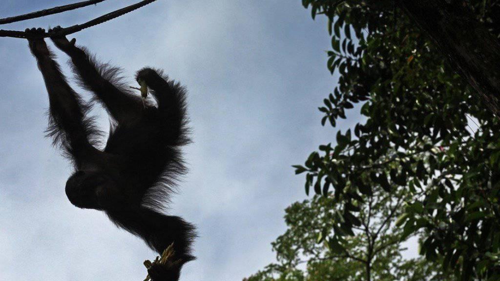 Aufnahme eines Orang-Utans in einem Zoo in Singapur. Im Duisburger Zoo kam es zu einer Tragödie, als einer der Orang-Utans den Aussenzaun übersteigen wollte. Da für eine Betäubung offenbar keine Zeit blieb, musste das Tier erschossen werden (Symbolbild)