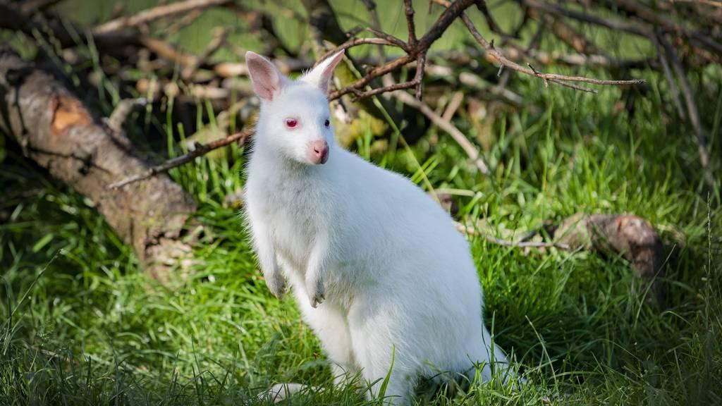 «Ein Albino-Känguru ist extrem selten»