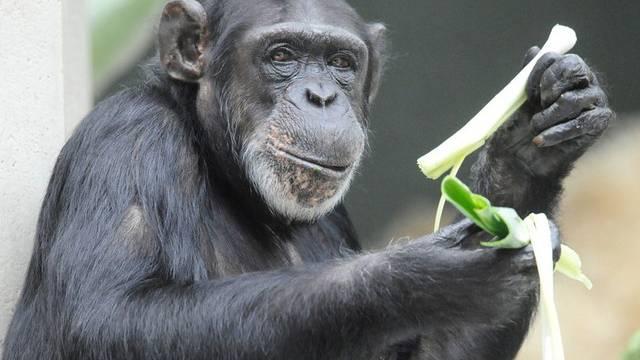 Besonders Schimpansen werden gestohlen (Symbolbild)
