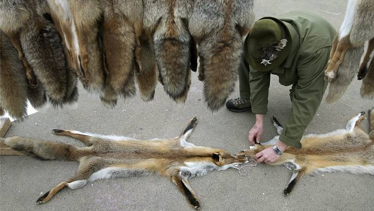 An Fellmärkten werden die Rotfüchse von den Jägern an Fellhändler verkauft.