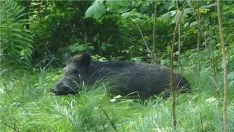 Wildschweine richten auf Feldern grosse Schäden an und sind schwierig zu bejagen.