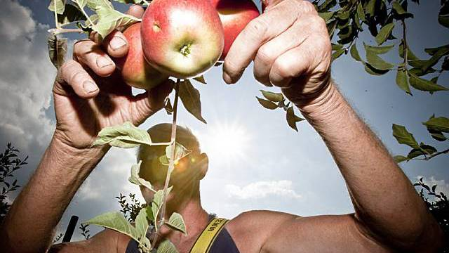 Kälte führt zu kleiner Apfelernte