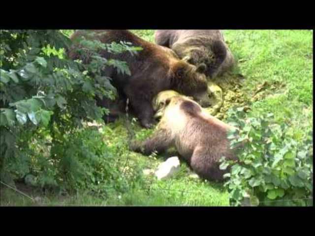 En Guete: Die Bären im Bärenpark Bern wälzen sich im Magen eines Rindes.