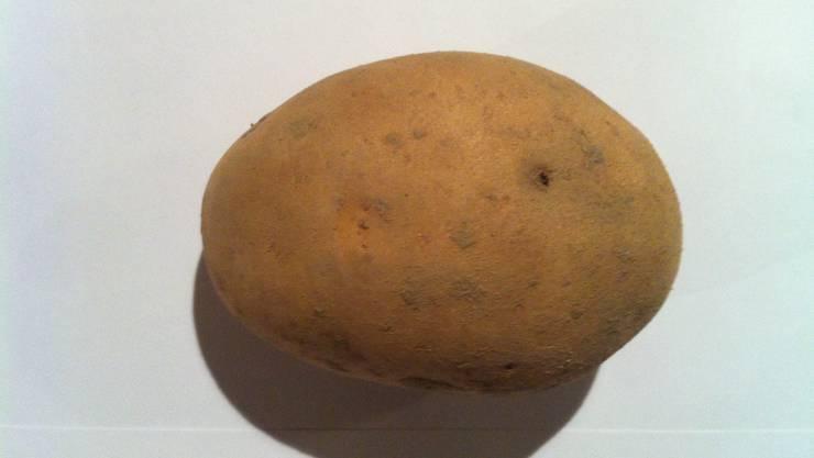 Eine Kartoffel vom Biohof Küttigkofen mit Schäden des Drahtwurms.