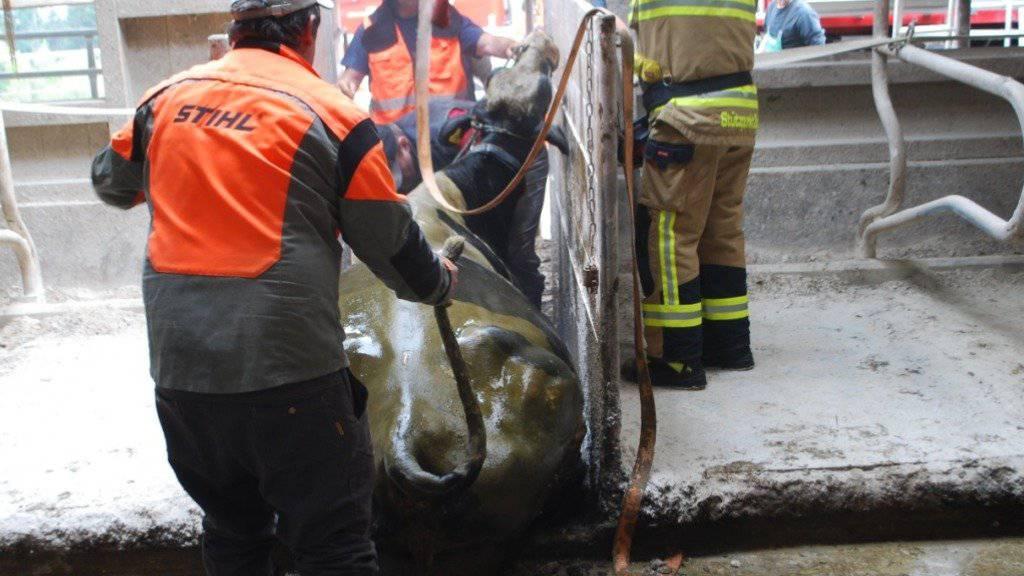 Den Sturz in ein Gülleloch unversehrt überstanden: Eine trächtige Kuh ist in Meierskappel von der Feuerwehr gerettet worden.