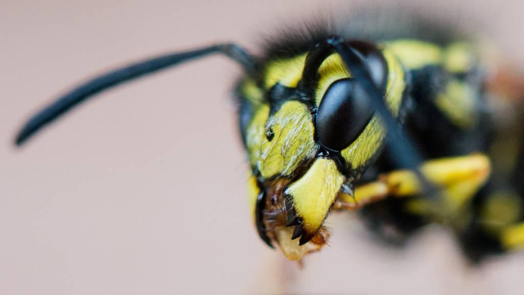 Wespenplage hält Zürcher Rettungsdienste auf Trab