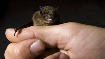 Fledermäuse können Tollwut übertragen. Ein Schweizer Paar hat sich in den USA möglicherweise mit dem tödlichen Virus angesteckt. (Symbolbild)