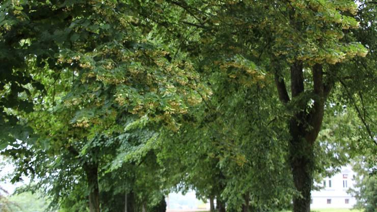 Symbolbild: Statt Platanen (im Bild) würden Ulmen gepflanzt da sich diese örtlich und klimatisch besser eignen.