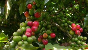 Ein Kaffeebaum in Brasilien..
