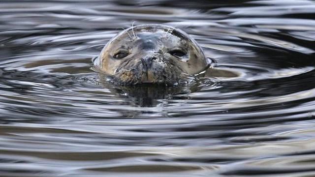 Ein Seehund schwimmt durchs Dählhölzli (Archiv)
