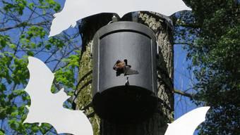 Im Auenwald gesichtet: Eine Fledermaus, die dabei ist, ihren Kasten zu verlassen.