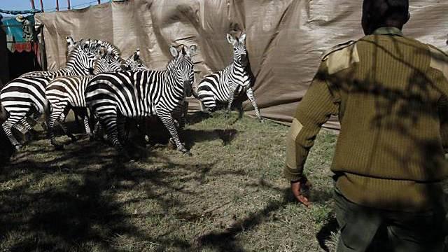 Zebraherden werden eingefangen und den Raubtieren zum Frass vorgeworfen