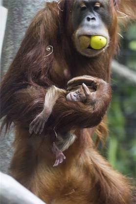 Das Orang-Utan-Baby Ketawa klammert sich fest an Mamas Fell und schaut mit wachen Augen um sich. Bereits im Frühling hat das kleine Mädchen mit seiner Mutter die neue Aussenanlage besucht.