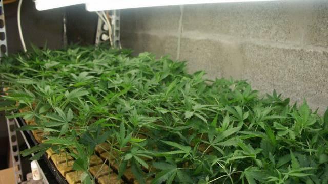 Eine Indoor-Hanfplantage mit 300 Pflanzen fand die Polizei in Birmensdorf. (Symbolbild)