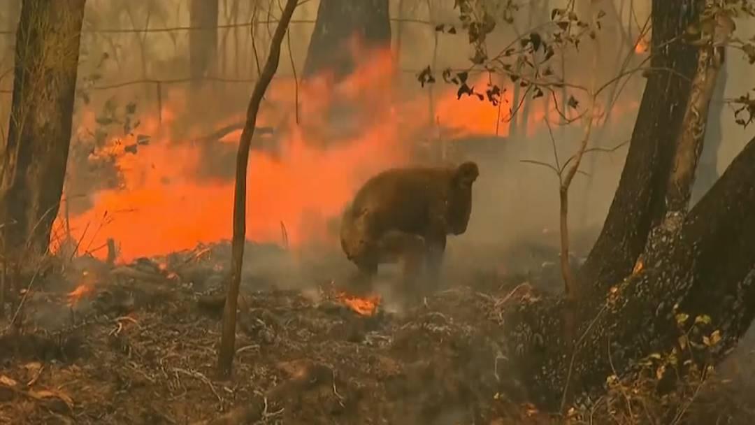 Mutige Australierin rettet Koala aus Waldbrand