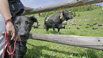 Herrchen mit Hund stehen am Rande einer Kuh-Weide