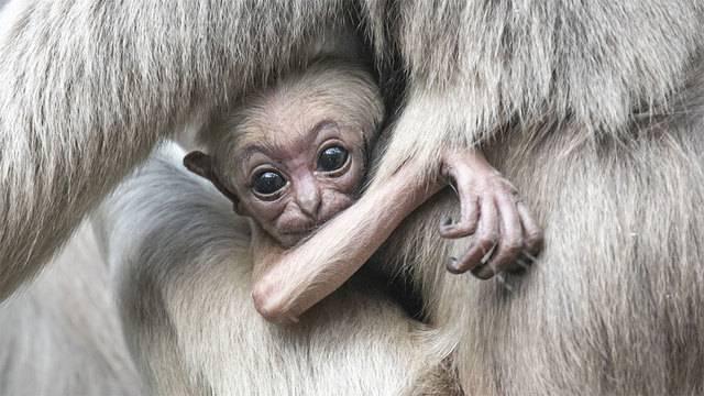 Gibbon-Affenbaby trotz Antibabypille