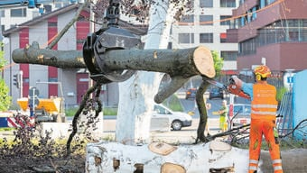 Innert einer Stunde wurde der berühmteste Schlieremer Baum im Juni gefällt.