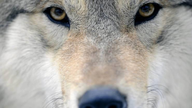 Erschossen: Das Tier, das stark verwest im Wallis gefunden wurde, war ein Wolf. (Symbolbild)