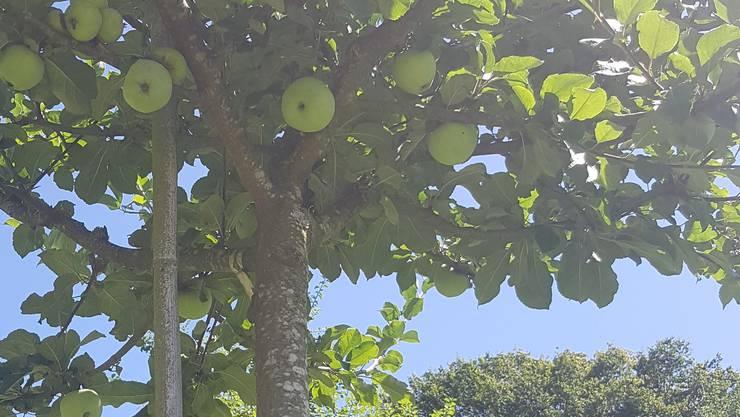 Wenn die neuen Paten im Herbst ihre Bäume pflanzen, kann der Besitzer dieses Hochstammbaumes bereits seine Früchte ernten.