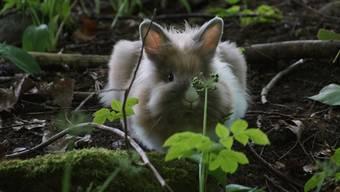 Dieses Zwergkaninchen wurde mitten im Turgemer Wald gefunden.