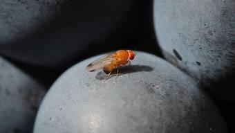 Eine Kirschessigfliege (Drosophila suzukii) auf einer roten Traube. Dank ihrem Sägestachel kann sie auch härtere Fruchthäute öffnen und ihre Eier ablegen.