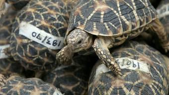 Beschlagnahmte Sternschildkröten
