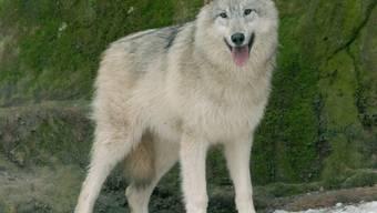 Mutterkühe im Freien reagieren mit einem verstärkten Abwehrverhalten auf die Wolfspräsenz. Dieses Verhalten kann für Menschen zur Gefahr werden (Themenbild).
