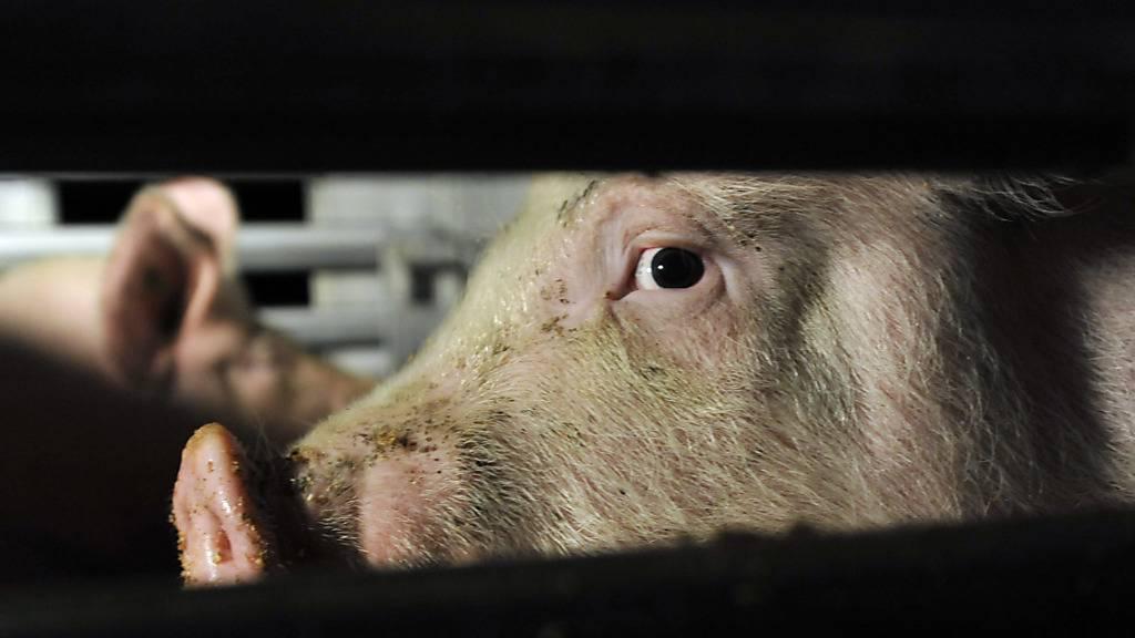 Schweine auf dem Weg in den Schlachthof. Dort werden die Vorschriften zum Tierwohl nicht immer eingehalten, wie Kontrollen im Auftrag des Bundes gezeigt haben. (Archivbild)