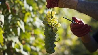 Die Weinlese beginnt dieses Jahr wegen des warmen Sommers früher. (Archiv)