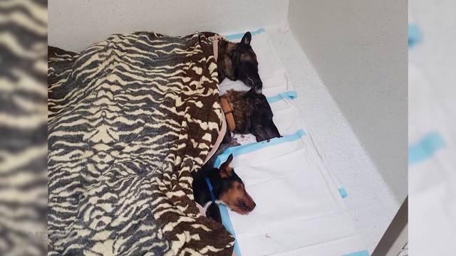 Drei Hunde an Rasierklingen-Würstchen gestorben