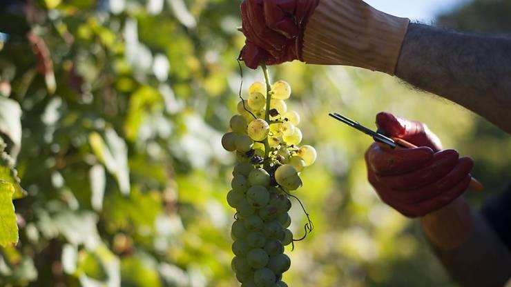 Einige frühe Sorten werden derzeit schon geerntet. Ab kommender Woche folgen die meisten weissen Trauben, die roten Trauben dann Mitte Oktober. (Archiv)