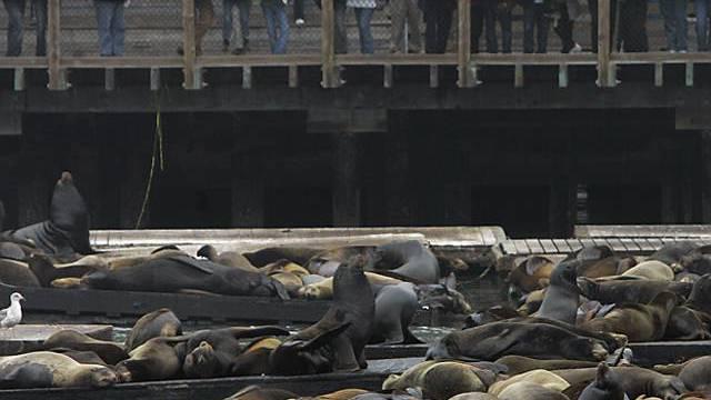 Da lagen die Seelöwen noch dicht an dicht (San Francisco 20.11.)