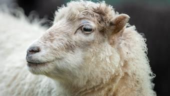 Das Schaf muss am Freitag zwischen 11.45 und 15 Uhr bei der Sammelstelle deponiert worden sein. (Archivbild)