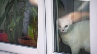Die Frage, ob Haustiere an Covid-19 erkranken können, bleibt ungeklärt. Eine Studie besagt, dass Katzen sich eher infizieren als Hunde, aber ausser einem Tiger in einem New Yorker Zoo zeigte noch kein katzenartiges Tier Symptome. (Archivbild)