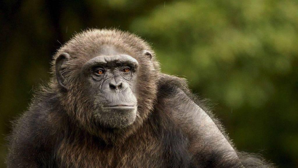 Auch Affen-Senioren wie die Schimpansin Karla aus Santa Fe haben ein hohes Stresshormon-Level und deshalb Altersgebresten. Das heisst, menschliche Alterszipperlein wie Muskelschwund und Herz- Kreislaufschwächen sind nicht Zivilisationskrankheiten. (Archivbild)